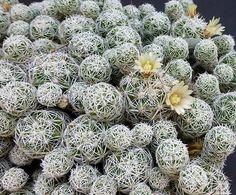 Mammillaria vetula gracilis v. fragilis