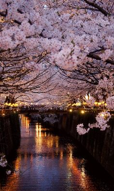 Springtime Cherry blossoms in Paris
