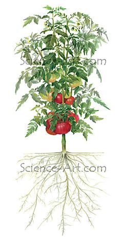 """Watercolor illustration for the Burpee """"Bumper Crop"""" label used to show parts of a grafted tomato. Medical Illustration, Plant Illustration, Watercolor Illustration, Watercolor Food, Gardening Books, Tomato Plants, Science Art, Dandelion, Herbs"""