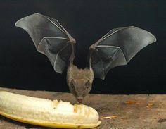 haha bat eating a banana :)
