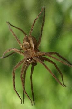 The Brown Recluse - The most unique feature of the Brown Recluse is the 3 pairs of eyes, which are very uncommon among spiders. Brown Recluse spiders will not bite unless they are forced to. Their bites can cause death, or other serious symptoms.