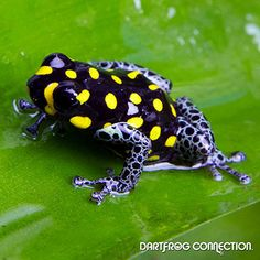 Dart Frog Connection - Vanzolini Nominant
