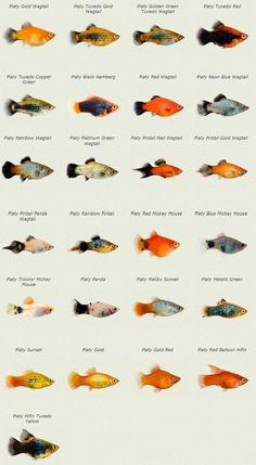Fish for aquarium - one of the most popular pets. Watching for peacefully fish swimming leads many people to the rest. All types of aquarium fish are united in Tropical Freshwater Fish, Tropical Fish Aquarium, Tropical Fish Tanks, Freshwater Aquarium Fish, Aquarium Fish Tank, Swordtail Fish, Platy Fish, Aquarium Design, Tropical Fish