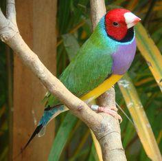 El Diamante de Gould, un ave muy colorida