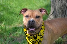 SAFE 6-5-2015 by Amsterdog --- TO BE DESTROYED 5/27/2015 Staten Island Center CLYDE – A1035247  MALE, TAN / WHITE, PIT BULL MIX, 2 yrs STRAY – STRAY WAIT, NO HOLD Reason NO ANSWER Intake condition UNSPECIFIE Intake Date 05/04/2015