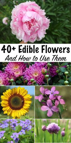 Edible Flowers & How to Use Them ~ Edible Flower Recipes for some of the most common garden blossoms ~ There's more to eat in grandma's perennial garden than you realize. You don't often think of grandma's flower garden as a good place to harvest your Permaculture Design, Permaculture Garden, Flowers Perennials, Planting Flowers, Flower Gardening, Flowers Garden, Hardy Perennials, Diy Flowers, Edible Wild Plants