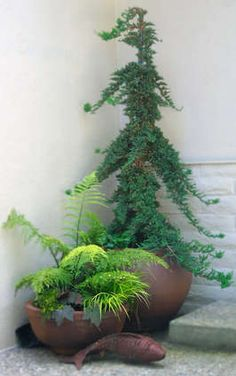 conifers -beautiful as container specimens....I LOVE THIS TREE!!!!!!