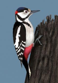 Dzięcioł duży (Dendrocopos major) [39]rodzina: dzieciołowate  Długość ciała: 22-26 cm. Średniej wielkości dzięcioł o biało-czarnym ubarwieniu z czerwonym podogoniem. Samiec ma czerwoną plamę na potylicy, której pozbawiona jest samica. Młode mają czerwone czapeczki. Nasz