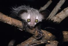 Aye-ayes, nocturnal primates from Madagascar, are fond of alcohol, and prefer the highest concentration available, a new study finds.
