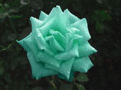 I will always love pink roses, but this mint green beauty is right in season.