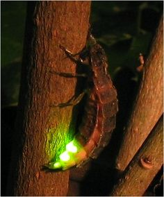 Lightning Bugs, or fireflies, are members of the Lampyridae family in the Beetles order. Yep, those fireflies are beetles, related to June Bugs and Ladybugs.