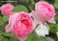 I love this Constance Spry rose