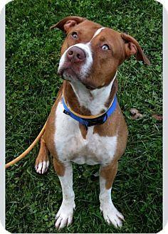 URGENT!!! TODD (gentle dapper gent....loves to stroll) Cleveland, OH - Pit Bull Terrier Mix. Meet Todd-Urgent!!, a dog for adoption. http://www.adoptapet.com/pet/11851495-cleveland-ohio-pit-bull-terrier-mix