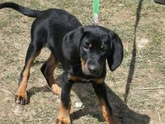 Black And Tan Coonhound Lab Mix | www.pixshark.com ...