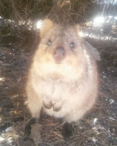This is a quokka only found on Rottnest island in Perth by far one of the cutiest animals alive #rottnestisland #perth by joshkitchen93 http://ift.tt/1L5GqLp