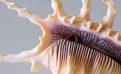 Scorpion spider conch ~ photographer Henry Domke    #shell #seashell