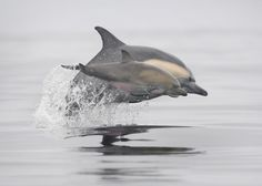 Common Dolphin- Mother and Daughter #1