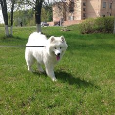 #North #puppy #springtime #samoyed #самоед #травказеленеет #green #grass #white #happydog #instapuppy #instadog #nofilter