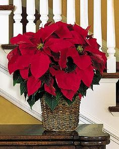 Beautiful Red Poinsettia Poinsettia Plant Christmas Poinsettia Christmas Flowers Merry Christmas