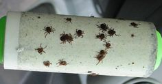 A Genius Trick To Keep Ticks From Biting You - Peppermint Oil & a Lint Roller Tick Bite, Healthy Holistic Living, Lyme Disease, Pest Control, The Fresh, Health And Beauty, Helpful Hints, Herbalism, Essential Oils
