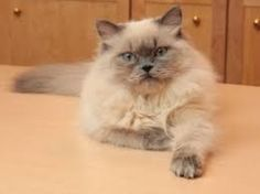 Image result for himalayan cats images