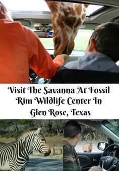 Fossil Rim Wildlife Center, located in Glen Rose, TX, is a great family getaway, not far from Dallas/Ft Worth.  It's a fun place to feed giraffes, zebras, ostriches, and more!