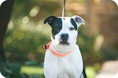 Asheville, NC - Bulldog/American Pit Bull Terrier Mix. Meet Misha, a dog for adoption. http://www.adoptapet.com/pet/14535218-asheville-north-carolina-bulldog-mix