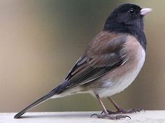 Dark-Eyed Junco - So sweet, at the bottom of the feeders constantly
