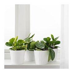 IKEA - PEPEROMIA, Potteplante, Frisk opp hjemme med planter kombinert med blomsterpotter som passer stilen din.