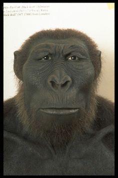Paranthropus boisei - reconstruction by W. Schnaubelt & N. Kieser