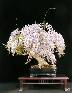 Wisteria Bonsai tree in full bloom                                                                                                                                                                                 More