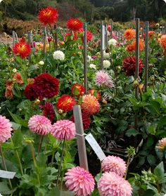 Dahlias  - used to sell dahlias at the farmers market in my teens... need to plant a bunch around the house for next summer!