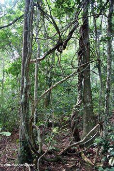Jungle lianas in Gabon