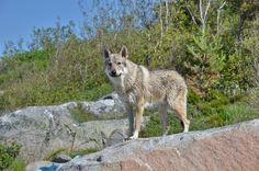 Czechoslovakian Vlcak is one of the most dangerous dogs Dog Breeds List, Cute Dogs Breeds, Best Dog Breeds, Best Dogs, Aggressive Dog Breeds, Most Cutest Dog, Scary Dogs, Dangerous Dogs, Dog Treats