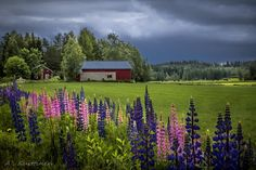 June in Sweden: lupines Summer Dream, Summer Time, Rain And Thunder, New York Beauty, Nordic Design, Nature Pictures, Amazing Nature, Countryside, Beautiful Places