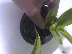 Passo a passo para o plantio de orquídeas - YouTube