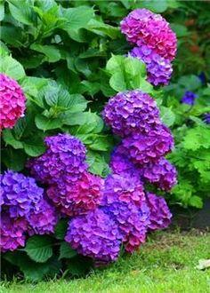 20 pcs/bag Multi-color hydrangea seed, perennial flower seeds ourdoor plant pot for home garden hydrangea flower easy grow