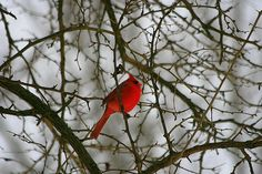 state bird     our Business Page www.facebook.com/photographybybuzz Also,we have a new website that you may purchase our photos please check it out. www.rick-buzalewski.artistwebsites.co