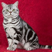 CFA Northwest Region - American Shorthair Winners - Beautiful and different ideas British Shorthair Silver Tabby, Black American Shorthair, Pretty Cats, Cute Cats, Baby Cats, Cats And Kittens, Different Types Of Cats, Russian Blue Kitten, Turkish Van Cats