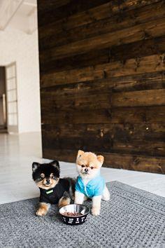 Black and Blue. Five Star Raw Food. Puppies, Pomeranians.