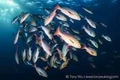 Lutjanus bohar spawning Palau