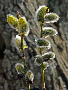 Raita, Salix caprea - Puut ja pensaat - LuontoPortti