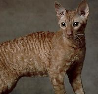 Cornish rex cat.  Yeah, they're weird and that's why I like them.