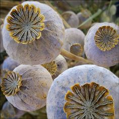 Seeds - Poppy seed  Pods  Whimsical Home and Garden