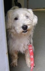 Buttons is an adoptable West Highland White Terrier Westie Dog in South Houston, TX. Look at this cutie! He may look like a hobo now but wait till he iis groomed! He is a westie/poodle/terrier, take y...
