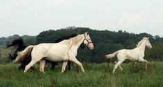 White born French Trotting mare Margot Severoise (2000) and her white colt Totem de Visas