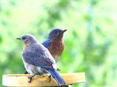 You go your way, I'll go mine.  Bluebirds Photographed by Doris Glander