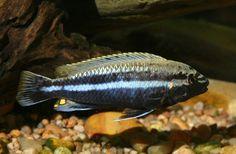 melanochromis aurianis Mbuna Cichlid (Male)