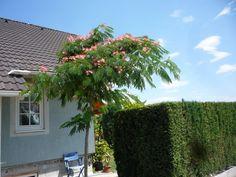 Albizzia julibrissin (Schlafbaum/Seidenbaum)
