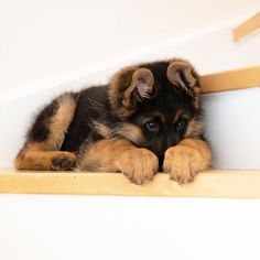 The German Shepherd Dog is the second most popular breed in the United States, and it is easy to see why. Source by dogtime The post German Shepherd Puppies: Cute Pictures And Facts appeared first on Gwen Howarth Dogs. Super Cute Puppies, Cute Baby Dogs, Cute Dogs And Puppies, Doggies, Fluffy Puppies, Puppies Stuff, Doggy Stuff, Pet Dogs, Baby Animals Pictures